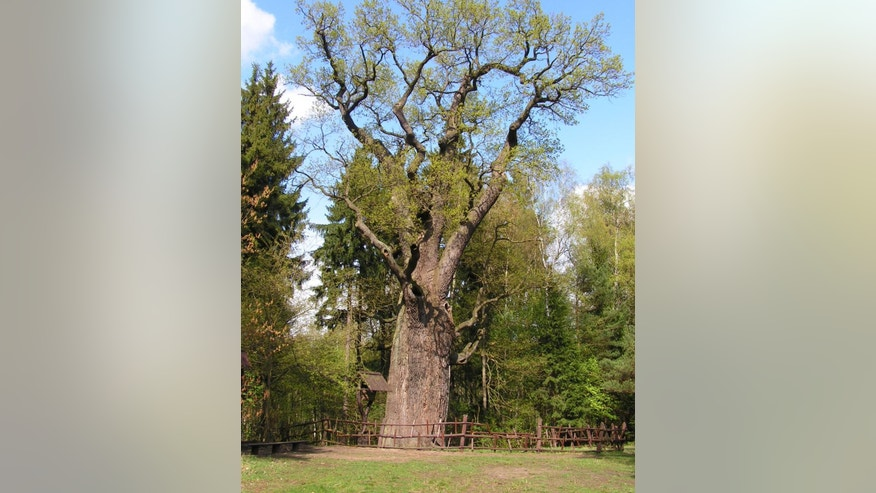 """May 1, 2006: In this picture publicly provided by the office of the chief forestry in Szprotawa (Nadlesnictwo Szpotawa), the 750-year-old oak tree nicknamed """"Grandpa"""" is seen near Szprotawa, Poland.  (AP/Nadlesnictwo Szprotawa)"""