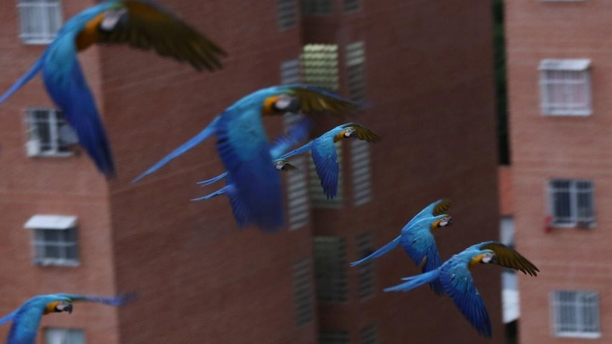 In this Nov. 24, 2014 photo, macaws fly over the city in Caracas, Venezuela. Macaws are thriving amid the high-rises and traffic of Caracas thanks to a group of amateur birders who feed them and watch out for their nests. Visitors to Venezuela's capital soon grow accustomed to lifting their heads at dusk and dawn to see the stately birds glide by, usually in a pair. (AP Photo/Ariana Cubillos)