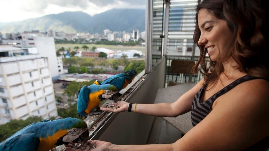 "In this November 14, 2014 photo, Vanessa Silva, 38, feeds macaws that fly to her apartment window every day looking for food, in Caracas, Venezuela. A group of gold-and-royal blue birds poked their heads through Silva's window, as if saying ""I'm here, is anyone home?"" ""I'd seen them flying when I was down on the street, and I thought 'Oh how pretty,'"" the 38-year-old said, a macaw eating out of her hand. (AP Photo/Ariana Cubillos)"