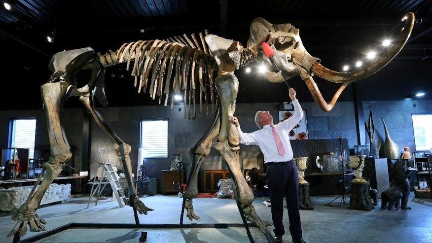 FILE - In this Sept. 23, 2014 file photo, James Rylands, Auctioneer and Director of Summers Place Auctions, prepares the skeleton of an Ice Age woolly mammoth in London. The skeleton has been bought by a private buyer for 189,000 pounds ($300,000) at an auction in London on Wednesday Nov. 26, 2014. (AP Photo/PA, Gareth Fuller) UNITED KINGDOM OUT  NO SALES  NO ARCHIVE
