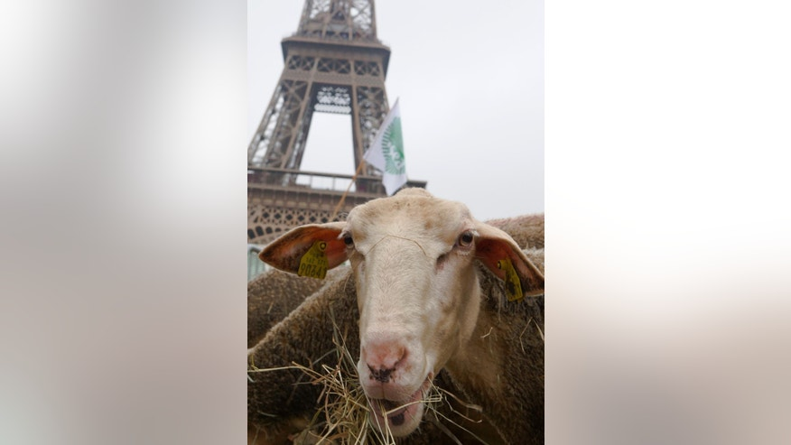 A sheep is seen during a protest in front of the Eiffel Tower in Paris, France. Thursday  Nov. 27, 2014.  Shepherds from  France demonstrated Thursday  against the French policy that protects wolves that they say attack their herds. (AP Photo/Jacques Brinon)