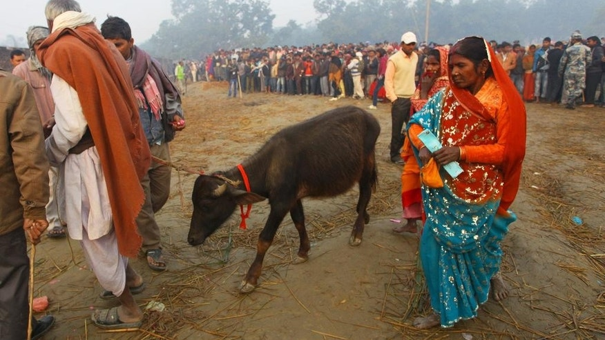 A young sacrificial buffalo is led into a field during a mass sacrifice ceremony at Gadhimai temple in the jungles of Bara district, about 160 miles (100 miles) south of Katmandu, Nepal, Friday, Nov. 28, 2014. A festival believed to be the largest animal sacrifice ritual in the world began Friday in southern Nepal, where devotees believe the sacrifices bring good luck and a Hindu goddess will grant their wishes. Organizers and the authorities defend the festival held every five years as a generations-old tradition, though animal rights activists decry it as barbaric. During the 2009 festival, an estimated 200,000 animals and birds were sacrificed. (AP Photo/Sunil Sharma)