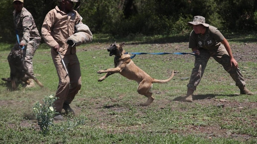 "In this photo taken Wednesday, Nov. 26, 2014 a dog is edged on to attack a ""rhino poacher"" left, in a simulation exercise showing training at an academy run by the Paramount Group, near Rustenburg, South Africa. The course prepares canine units to find firearms or contraband, track suspects in the undergrowth and abseil in harnesses from helicopters in pursuit of poachers. Dogs and handlers learn to trust each other and fine tune a relationship balancing control and aggression.  (AP Photo/Denis Farrell)"