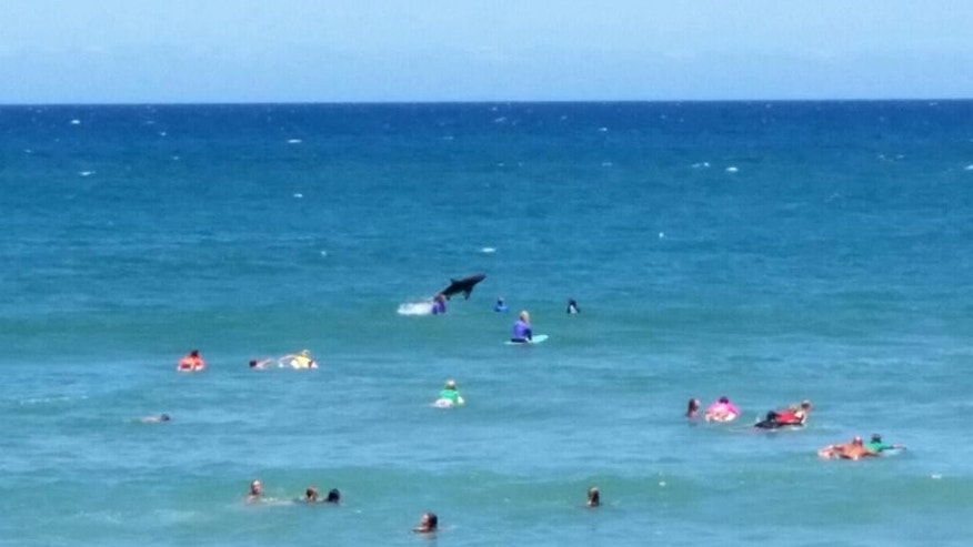 In this photo taken with a smartphone camera on Sunday, Nov. 30, 2014, a shark, center, jumps out of the water near where several surfers are paddling on their boards at Coffs Harbour, Australia. An expert from James Cook University says it's possibly a spinner shark, which is common in the region and is known to jump from the water and is estimated at around 2 meters (7 feet) long. (AP Photo/Steph Bellamy) NO SALES