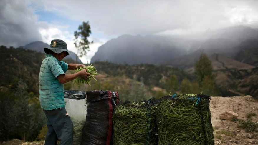 Julio Mejia, 56, prepares sacks of peas in Yungay, Peru, Tuesday, Dec. 2, 2014. Mejia claims that due to global warming, each year there is less rain and his crops are affected. In Peru glaciers have lost more one-fifth of their mass in just three decades, and the 70 percent Peru's 30 million people who inhabit the country's Pacific coastal desert, depend on glacial runoff for hydropower and to irrigate crops, meaning their electricity and long-term food security could also be in peril. Higher alpine temperatures are killing off plant and animal species in cloud forests and scientists predict Pacific fisheries will suffer. (AP Photo/Rodrigo Abd)