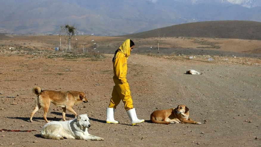 In this Friday, Dec. 5, 2014 photo, Iranian volunteer Asal Moghaddam takes dogs for a walk at the Vafa Animal Shelter in the city of Hashtgerd 43 miles (73 kilometers) west of the capital Tehran, Iran. Man's best friend is seen as anything but in Iran, where city workers gun down strays and conservatives view pet dogs as a corrupting Western influence. But in a rare animal shelter in the countryside west of Tehran, hundreds of lucky pups have found mercy, and a growing number of Iranians are learning to love them. (AP Photo/Vahid Salemi)