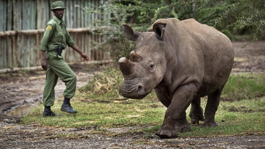 In this photo taken Tuesday, Dec. 2, 2014, keeper Mohamed Doyo walks with female northern white rhino Fatu as she is let out of her pen to graze, at the Ol Pejeta Conservancy in Kenya. The keepers of three of the last six northern white rhinos on Earth said Wednesday, Dec. 10, 2014 that it is highly unlikely the three will ever reproduce naturally, with recent medical examinations of them showing the species is doomed to extinction, unless science can help. (AP Photo/Ben Curtis)
