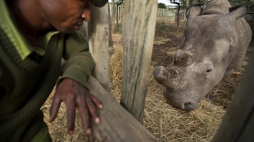 In this photo taken Monday, Dec. 1, 2014, keeper Zachariah Mutai brings hay to eat for female northern white rhino Fatu, in her pen where she is being kept for observation at the Ol Pejeta Conservancy in Kenya. The keepers of three of the last six northern white rhinos on Earth said Wednesday, Dec. 10, 2014 that it is highly unlikely the three will ever reproduce naturally, with recent medical examinations of them showing the species is doomed to extinction, unless science can help. (AP Photo/Ben Curtis)