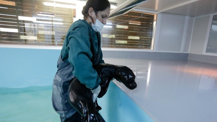 Marianna Psaradelli, Rescue and Information Network Coordination of MOm, takes Andrianna, a one-month old female Mediterranean monk seal, out of water at the Attica Zoological Park in Spata, eastern Athens, on Wednesday, Dec. 10, 2014. The orphaned seal, was found four weeks ago by local residents on the Aegean Island of Skopelos, central Greece and its veterinary condition was critical. The pup is currently in an intensive treatment program at MOm's Mediterranean monk seal First Aid Unit, which has been provided by Attica Zoological Park. Around 350 Mediterranean monk seals, Monachus-Monachus, rare species of mammals, live in Greece according MOm, Greek Society For The Study and Protection of The Mediterranean Monk Seal. (AP Photo/Thanassis Stavrakis)