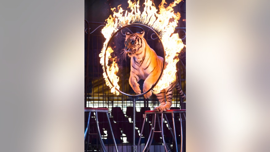 FILE - In this June 22, 2014 file photo, a tiger jumps through a ring of fire during a performance of the Fuentes Gasca Brothers Circus in Mexico City. Mexico's congress has passed legislation to ban the use of animals in circuses nationwide. The lower chamber's vote Thursday, Dec. 11, 2014 comes six months after Mexico City passed a similar ban that will go into effect next year. The bill now needs the signature of President Enrique Pena Nieto. (AP Photo/Sean Havey, File)