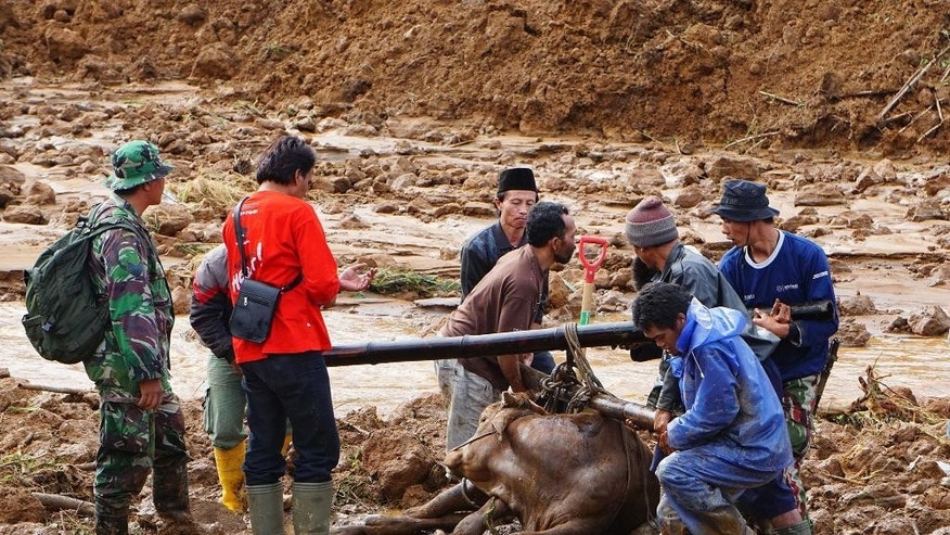 Rescuers help to evacuate a cow after a village was swept away by landslides in Jemblung, Central Java, Indonesia, Saturday, Dec. 13, 2014. Torrential rains set off mudslides down the hills into the village in central Indonesia, killing scores of people with more than 100 missing. (AP Photo/Bayu Nur)