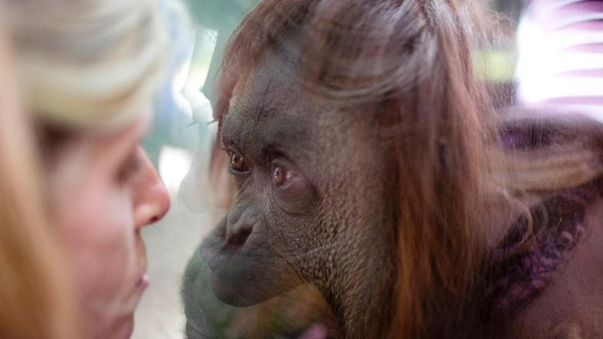 "The orangutan named Sandra looks through a window at a journalist inside her enclosure at Buenos Aires' Zoo in Buenos Aires, Argentina, Monday, Dec. 22, 2014. An Argentine court has ruled that Sandra, who has spent 20 years at the zoo, should be recognized as a person with a right to freedom. The ruling would free Sandra from captivity and have her transferred to a sanctuary in Brazil after a court recognized the primate as a ""non-human person"" which has some basic human rights. (AP Photo/Natacha Pisarenko)"