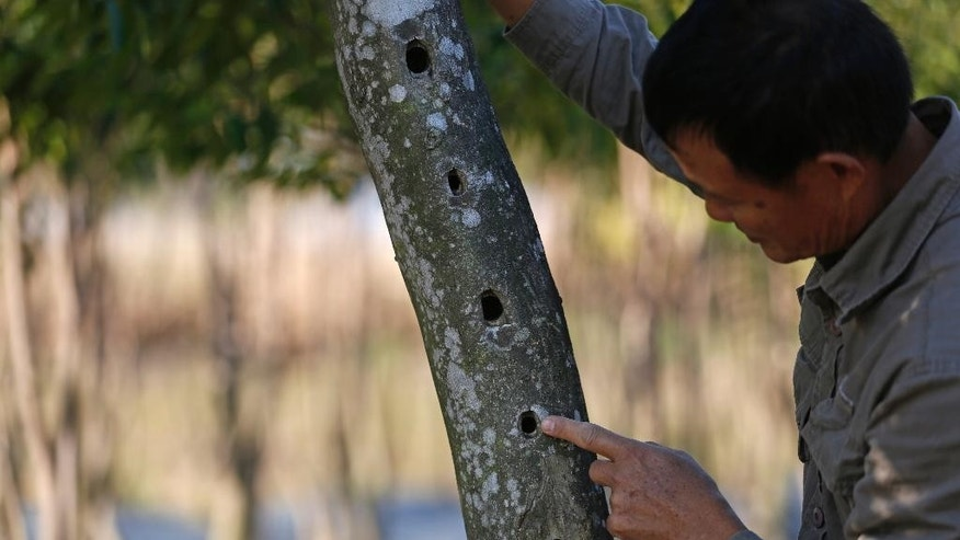In this Dec. 21, 2014 photo, Hong Kong farmer Koon-wing Chan shows holes on a agarwood tree where the resin will grow at his farm in Hong Kong. On land deep in Hong Kong's lush green northern suburbs near the border with China, Chan is working to keep a legendary scent alive in the city known as the Fragrant Harbor. Chan runs Hong Kong's last commercial plantation of agarwood trees, prized throughout the centuries for aromatic resin used to make incense, perfume and medicine. (AP Photo/Kin Cheung)