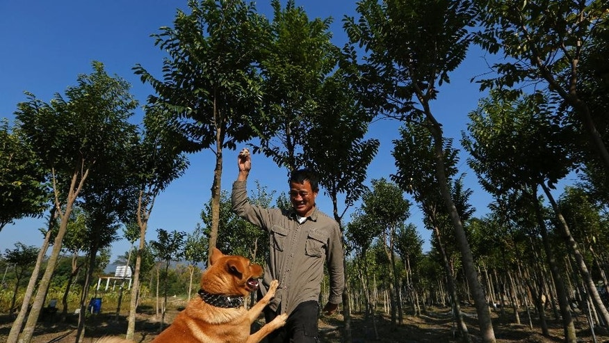 In this Dec. 21, 2014 photo, Hong Kong farmer Koon-wing Chan plays with his dog at his agarwood tree farm in Hong Kong. On land deep in Hong Kong's lush green northern suburbs near the border with China, Chan is working to keep a legendary scent alive in the city known as the Fragrant Harbor. Chan runs Hong Kong's last commercial plantation of agarwood trees, prized throughout the centuries for aromatic resin used to make incense, perfume and medicine. (AP Photo/Kin Cheung)