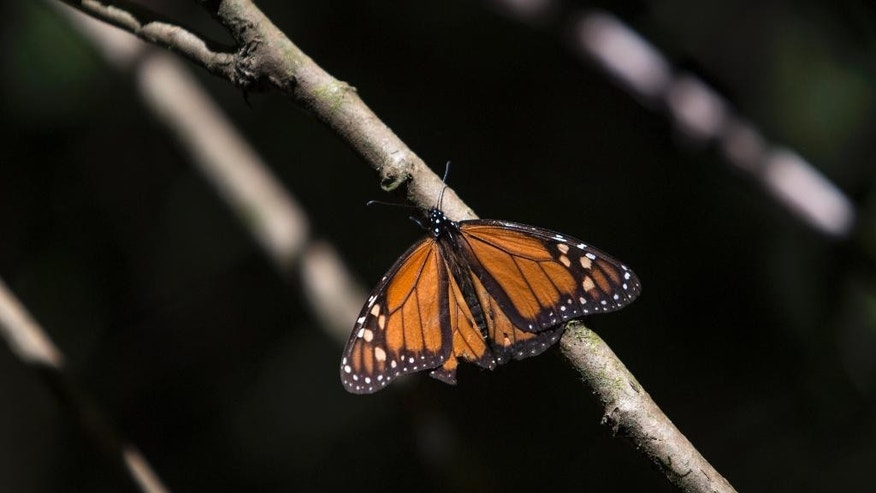 In this Dec. 21, 2014 photo, a monarch butterfly perches on a branch in the Piedra Herrada sanctuary near Valle de Bravo, Mexico. More butterflies appear to have made the long flight from the U.S. and Canada to their winter nesting ground in western Mexico, raising hopes after their number dropped to a record low last year. The insects are being hurt by various factors: in Mexico, the encroachment of logging into their habitat; and in the United States, the decline of milkweed, the butterflies' main source of food that has been crowded out by pesticide-resistant crops. (AP Photo/Christian Palma)