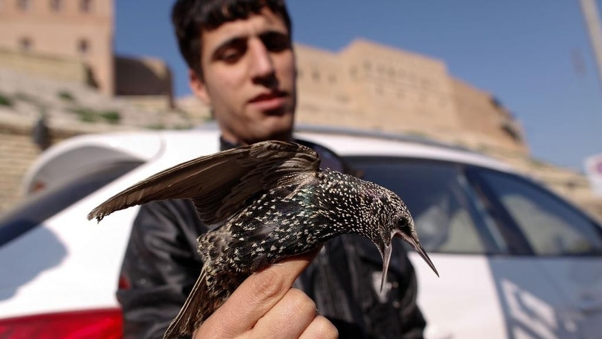In this Monday, Dec. 29, 2014, photo, starling seller Mohammed Jamil shows a bird after it was purchased by a customer to set it free in Irbil, Iraq.  Some will buy the birds to eat them as a delicacy, but most will buy them only to set them free as an act of mercy. This year, however, the nearby fighting with the Islamic State group has driven many of the skittish birds away.  (AP Photo/Dalton Bennett)