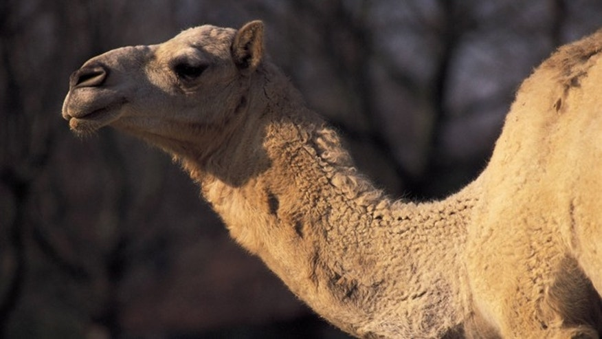 Dromedary  (Photo by Matias Nieto/Cover/Getty Images)