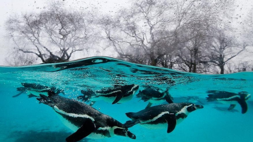 Penguins swim in their pool during the annual stock take at London Zoo, Monday, Jan. 5, 2015. Caring for more than 750 different species, London Zoo keepers started the New Year with the task of counting every single animal. With three Sumatran tiger cubs adding vital numbers to the European conservation breeding programme, the birth of six critically-endangered Philippine crocodiles and the arrival of nine Humboldt penguin chicks, all of the new additions will be added to the records. (AP Photo/Kirsty Wigglesworth)