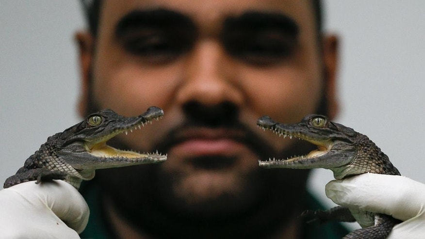 Two six month old Philippine crocodiles, two of six who were the first of their kind to hatch in the UK, during the annual stock take at London Zoo, Monday, Jan. 5, 2015. Caring for more than 750 different species, London Zoo keepers started the New Year with the task of counting every single animal. With three Sumatran tiger cubs adding vital numbers to the European conservation breeding programme, the birth of six critically-endangered Philippine crocodiles and the arrival of nine Humboldt penguin chicks, all of the new additions will be added to the records. (AP Photo/Kirsty Wigglesworth)