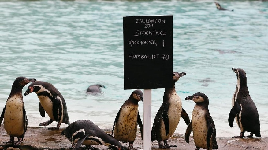 Penguins stand near their pool during the annual stock take at London Zoo, Monday, Jan. 5, 2015. Caring for more than 750 different species, London Zoo keepers started the New Year with the task of counting every single animal. With three Sumatran tiger cubs adding vital numbers to the European conservation breeding programme, the birth of six critically-endangered Philippine crocodiles and the arrival of nine Humboldt penguin chicks, all of the new additions will be added to the records. (AP Photo/Kirsty Wigglesworth)