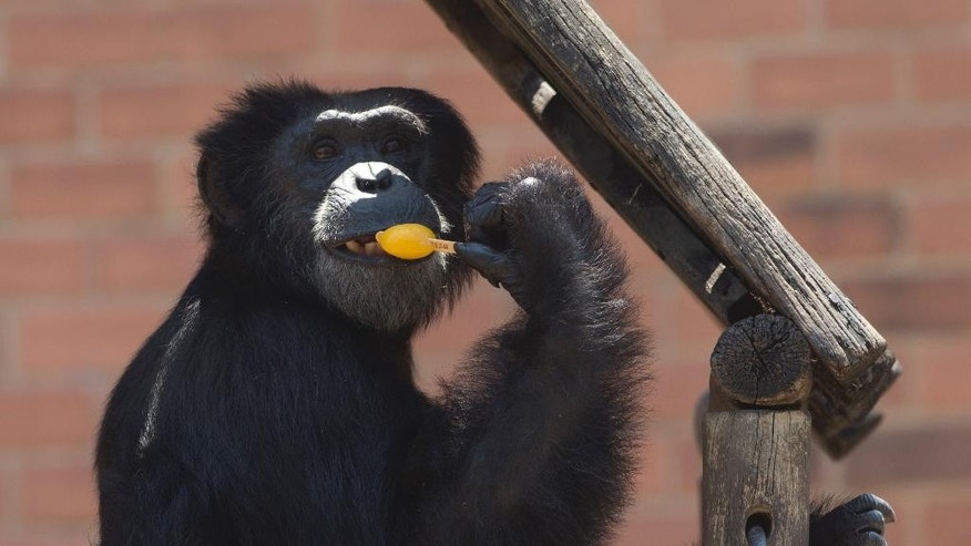 A chimpanzee named Paulinho eats a popsicle at the city zoo in Rio Janeiro, Brazil, Tuesday, Jan. 13, 2015. The zoo animals were given frozen snacks made from tropical fruits, chunks of meat and frozen yogurt to help ease the intense summer heat. (AP Photo/Silvia Izquierdo)