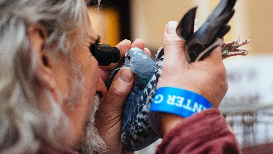 In this photo taken Saturday, Jan. 17, 2015, a pigeon fancier uses a loupe to inspect the eye of a bird for sale during the annual British Homing World Show at the Winter Gardens, Blackpool, northwest England. (AP Photo/David Azia)