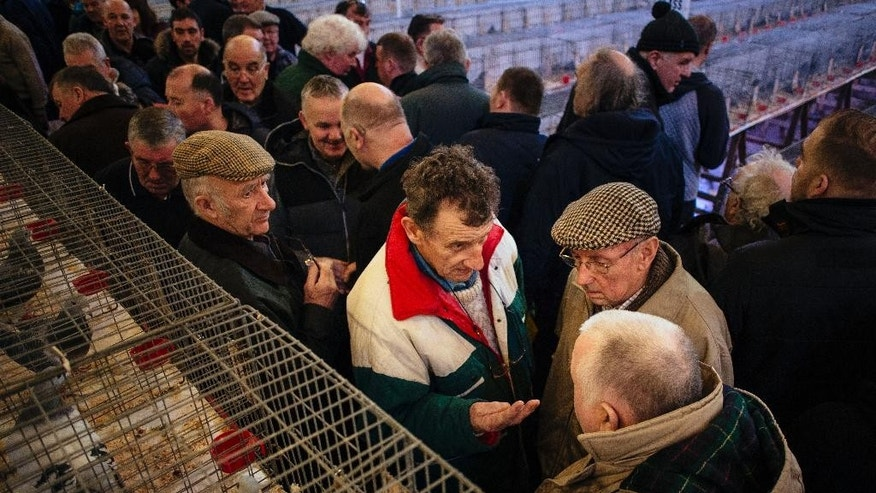 In this photo taken Saturday, Jan. 17, 2015, pigeon fanciers talk in front of prize-winning pigeons at the annual British Homing World Show in the Empress Ballroom at the Winter Gardens, Blackpool, northwest England. (AP Photo/David Azia)