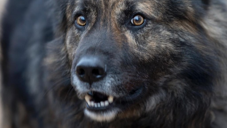 Dog Medo barks in a backyard in Peroj, Croatia, Monday, Feb. 9, 2015. A fed up neighbor from a northern Croatian Adriatic village has won a temporary court order that says Medo must stop barking at night. If not, owner Anton Simunovic must pay some €2,800 ($3,160). The 3-year-old mutt, now confined in a barn between 8 p.m. and 8 a.m. instead of being allowed to roam, is the only dog in Croatia slapped with a no-barking injunction. (AP Photo/Darko Bandic)