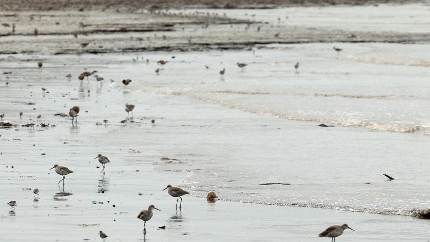 FILE - In this Oct. 18, 2012 file photo, shorebirds look to feed near a mangrove forest that hugs the coastline of Panama City. An environmental law signed by Panama's President Juan Carlos Varela which took effect Monday, Feb. 9, 2015, bans construction and the removal of vegetation from more than 200,000 hectares of muddy mangroves stretching along the capital's Pacific Ocean coastline. The area is a refuge for some 1 million North American shorebirds who migrate annually to the Bay of Panama, including 30 percent of the world's Western Sandpiper population. (AP Photo/Arnulfo Franco, File)