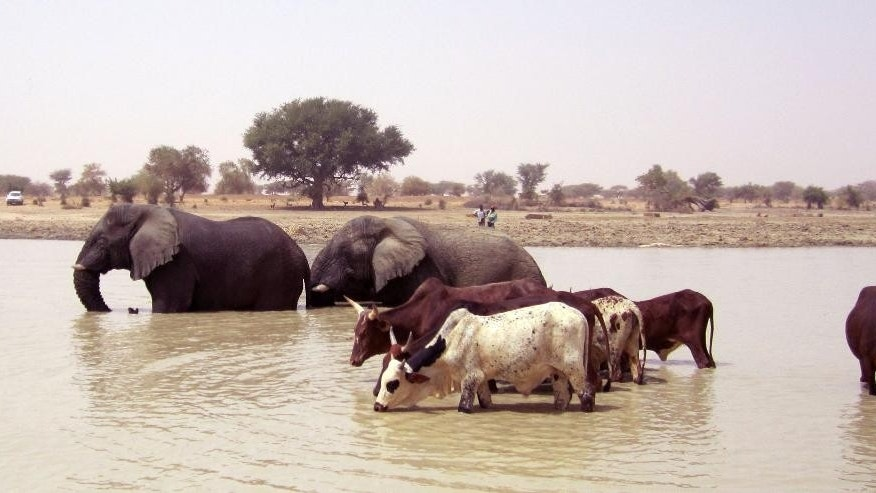 In this photo taken on Saturday, March 3, 2012,  Elephants and cattle drink water inside a dam near Hombori, Mali. Motorcycle-riding poachers have killed at least 19 elephants over the past month, officials said Wednesday, Feb. 11, 2015, a significant blow to a rare grouping that migrates through a part of central Mali where al-Qaida and other extremists have been active.  (AP Photo/Baba Ahmed)