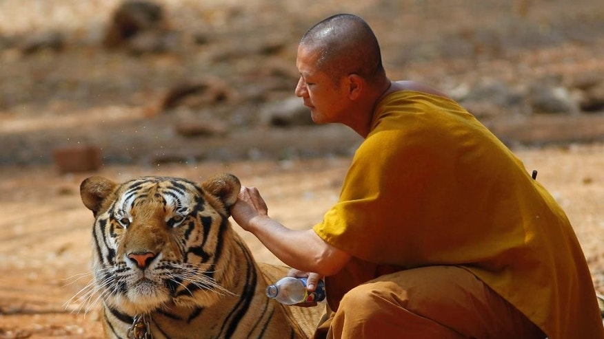 "A Thai Buddhist monk plays with a tiger at the ""Tiger Temple,"" in Saiyok district in Kanchanaburi province, west of Bangkok, Thursday, Feb. 12, 2015. Wildlife protection officials said on Thursday they found no mistreatment of the more than 100 tigers at the temple, one of the country's most popular destinations for foreign tourists. Famous for the iconic image of tame-looking big cats living with Buddhist monks, the temple has been accused of drugging the creatures to make them stay calm, an allegation the monks and the veterinarian who takes care of the animal, have denied. (AP Photo/Sakchai Lalit)"