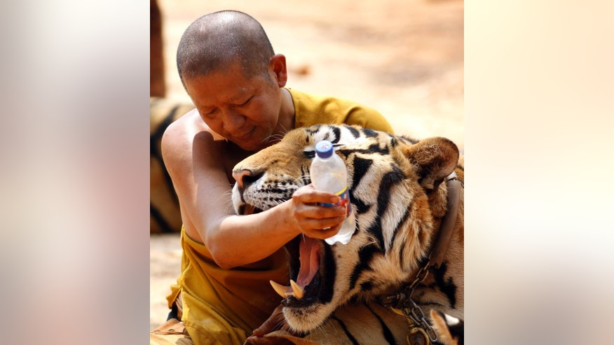 "A Thai Buddhist monk plays with tigers at the ""Tiger Temple,"" in Saiyok district in Kanchanaburi province, west of Bangkok, Thursday, Feb. 12, 2015. Wildlife protection officials said on Thursday they found no mistreatment of the more than 100 tigers at the temple, one of the country's most popular destinations for foreign tourists. Famous for the iconic image of tame-looking big cats living with Buddhist monks, the temple has been accused of drugging the creatures to make them stay calm, an allegation the monks and the veterinarian who takes care of the animals, have denied. (AP Photo/Sakchai Lalit)"