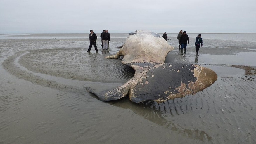 A 12 meter long sperm whale lies stranded on the beach on the island of Fanoe close to Esbjerg at the Danish North Sea coast. The whale, apparently, has been dead for a couple of days and biologists are now preparing for a dissection the big animal. (AP/Photo Marco Brodde/POLFOTO) DENMARK OUT