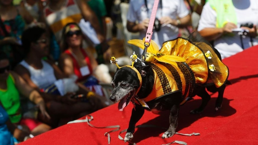 "A dog dressed for carnival parades during the ""Blocao"" dog carnival parade in Rio de Janeiro, Brazil, Saturday, Feb. 14, 2015. Carnival goes to the dogs as pet owners take to the streets for their own party, with their four-legged friends in ornate costumes. (AP Photo/Silvia Izquierdo)"
