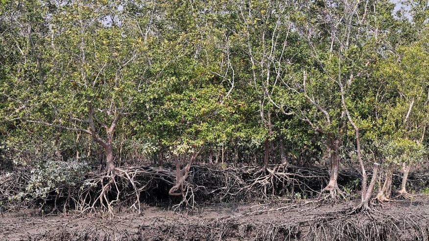 In this Jan. 31, 2015 photo, mangroves stand on an island in the Sundarbans, India. The freshwater swamps and their tangles of mangrove forests acts as a crucial, natural buffer protecting India's West Bengal state and Bangladesh from cyclones. With global warming already a reality for some 13 million impoverished villagers living precariously on the river deltas that spill into the Bay of Bengal, the ecologically sensitive and overpopulated Sundarbans is ground zero for climate change, and a test for how they will cope with warmer temperatures, rising seas and potentially millions of climate refugees. (AP Photo/Bikas Das)
