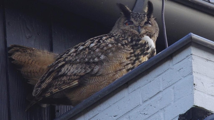 Feb. 22, 2015: An eagle owl sits under the roof of a building in Purmerend, Netherlands. (AP/Jacob Jorritsma)