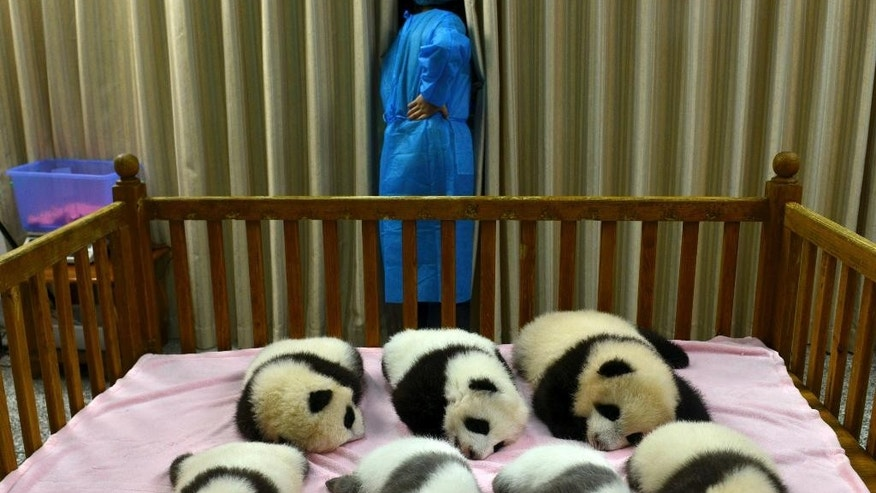 FILE - In this Oct. 30, 2012 file photo, a researcher stands near seven panda cubs, all born in 2012, at the Chengdu Panda Base in Chengdu, in southwestern China's Sichuan province. The panda population has grown by 268 to a total of 1,864 since the last survey ending in 2003, according to a census by China's State Forestry Administration. Nearly three quarters of the pandas lives in the southwestern province of Sichuan. (AP Photo/File) CHINA OUT