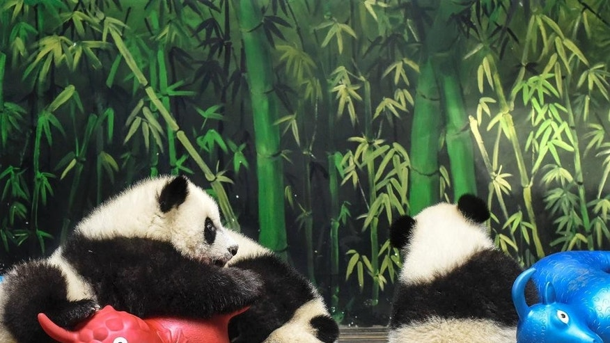 In this Feb. 18, 2015 photo, panda triplet cubs play with sheep toys at the Chimelong Wildlife Park in Guangzhou in south China's Guangdong province. According to a census by China's State Forestry Administration, the panda population has grown by 268 to a total of 1,864 since the last survey ending in 2003. (AP Photo) CHINA OUT