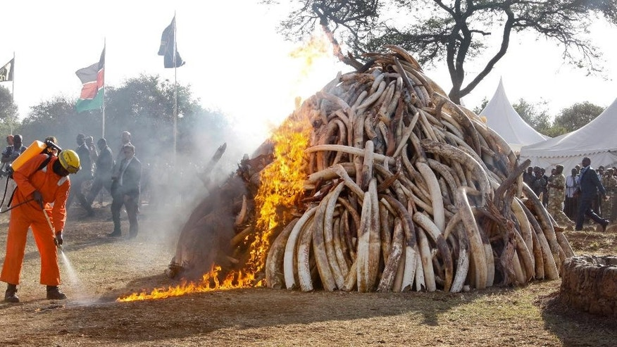 March 3, 2015: A firefighter controls the flames as 15 tons of elephant tusks are set on fire during an anti-poaching ceremony at Nairobi National Park in Nairobi, Kenya. (AP)
