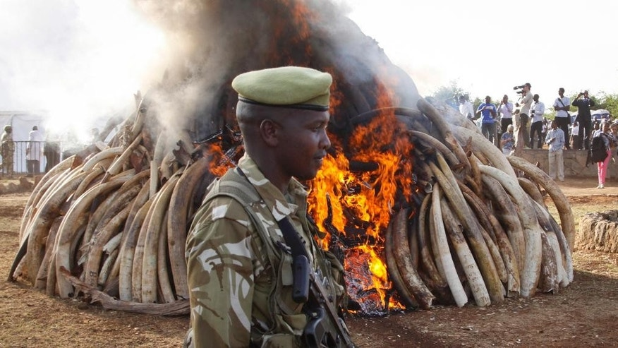 March 3, 2015: A ranger from the Kenya Wildlife Service walks past 15 tons of elephant tusks which were set on fire, during an anti-poaching ceremony at Nairobi National Park in Nairobi, Kenya. (AP)