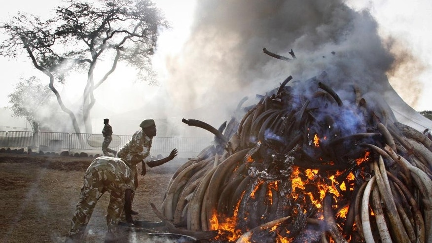 March 3, 2015: Rangers from the Kenya Wildlife Service assist with setting on fire 15 tons of elephant tusks, during an anti-poaching ceremony at Nairobi National Park in Nairobi, Kenya. (AP)