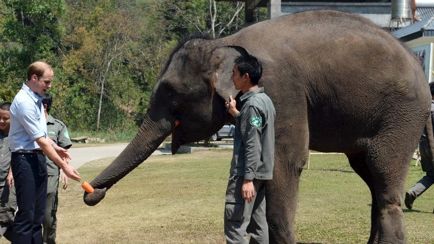 Britain's Prince William feeds Ran Ran, a 13-year-old female elephant who was discovered in 2005 with a leg wound caused by an iron clamp trap in Xishuangbanna in southwest China's Yunnan province Wednesday, March 4, 2015. William highlighted his interest in wildlife conservation on the final stop of his China tour Wednesday, feeding baskets of carrots to an elephant in the country's southwest. (AP Photo) CHINA OUT
