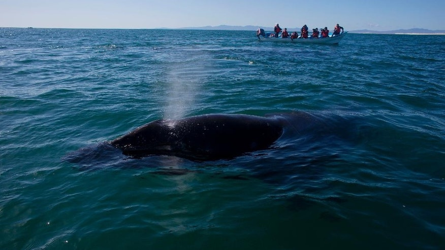 "In this Tuesday, March 3, 2015 photo, a grey whale calf expels air through it's blowhole as a boat filled with visitors watches in the San Ignacio lagoon, on the Pacific Ocean near the town of Guerrero Negro, in Mexico's Baja peninsula. Mexican authorities said Thursday, March 12, 2015, that a 35-year-old Canadian woman has died and two other tourists were injured near the beach resort of Cabo San Lucas, when a surfacing grey whale crashed onto their boat as they came back from a snorkel tour. The Attorney General's Office for Environmental Protection said that two other tourists suffered ""considerable"" injuries. (AP Photo/Dario Lopez-Mills)"