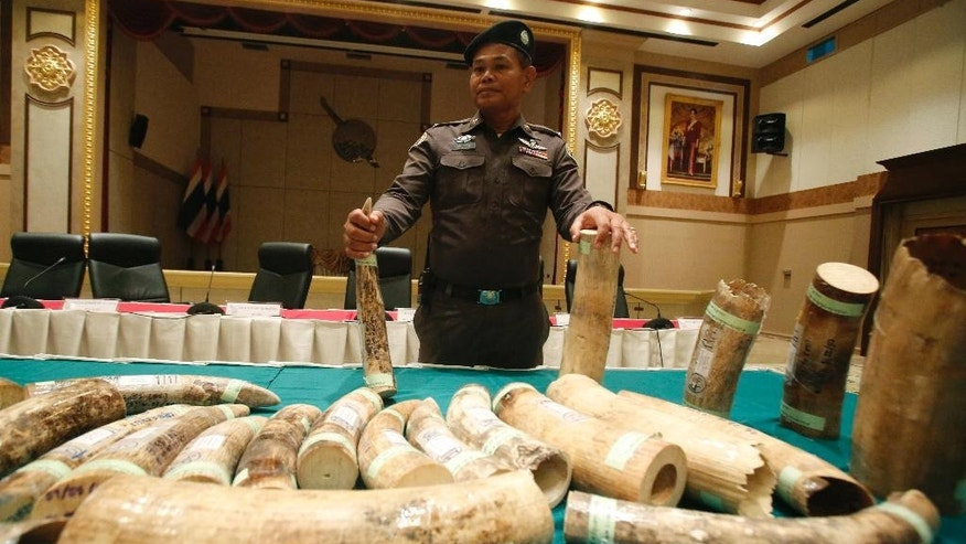 A Thai police officer displays seized smuggled ivory during a press conference at the police headquarters in Bangkok, Thailand Thursday, March 19, 2015.   Thai authorities have arrested two men they say are behind a transnational ivory trade network after seizing more than 100 kilograms (220 pounds) of African ivory in the biggest bust in recent years. (AP Photo/Sakchai Lalit)