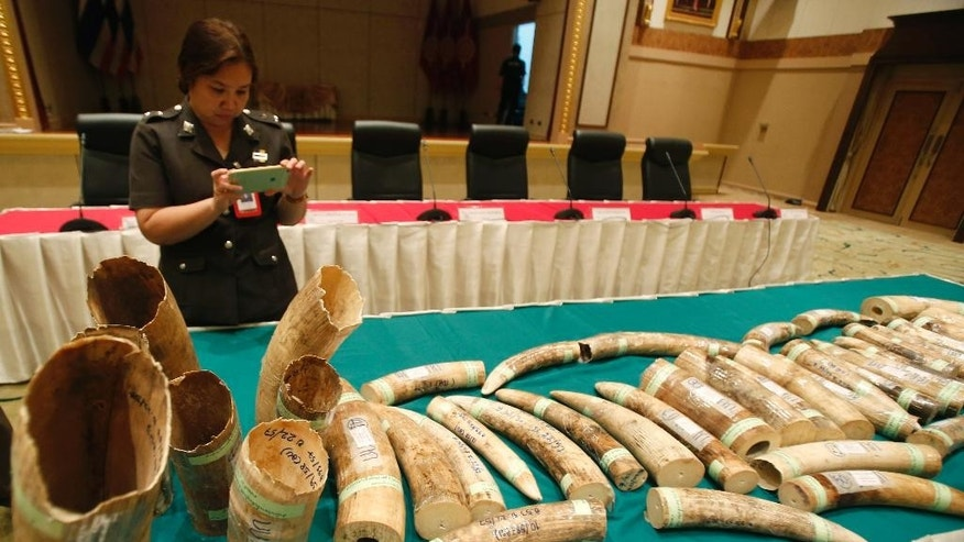 A Thai police officer takes photos of seized smuggled ivory during a press conference at the police headquarters in Bangkok, Thailand Thursday, March 19, 2015. Thai authorities have arrested two men they say are behind a transnational ivory trade network after seizing more than 100 kilograms (220 pounds) of African ivory in the biggest bust in recent years. (AP Photo/Sakchai Lalit)