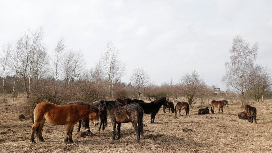 In this photo taken on Monday, March 16, 2015, a herd of 14 wild mares from Britain's Exmoor National Park rest in an enclosure near the village of Milovice, Czech Republic. Twenty-five years ago it was a military zone where occupying Soviet troops held exercises. Today it's a sanctuary inhabited by wild animals that scientists hope will improve biodiversity among local plants as well as save endangered species. (AP Photo/Petr David Josek)