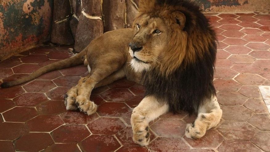 An African lion named Raja, or King, sits at the house of his owner who has adopt him as a pet on Thursday, March 26, 2015, in Multan, Pakistan. The African lioness named Queen has given birth to five healthy cubs after the owner mated King with Queen. Lions normally have litters of two or three cubs. (AP Photo/Asim Tanveer)