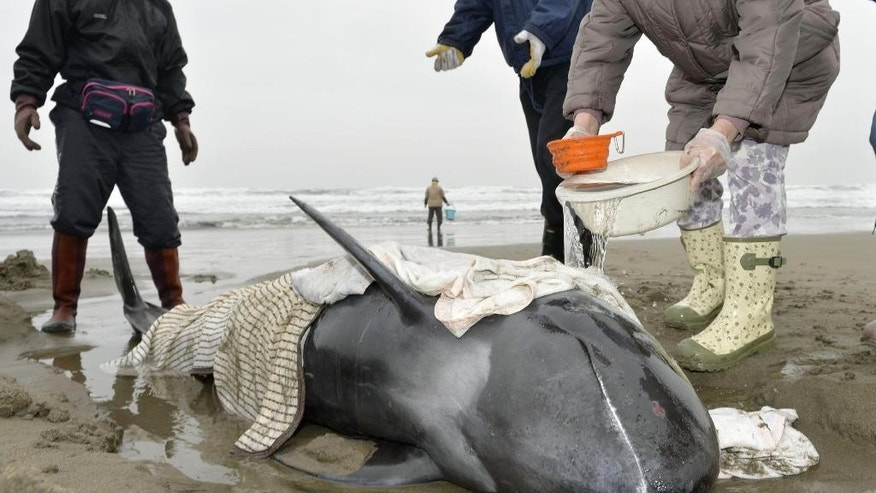 April 10, 2015 - Rescuers try to help a stranded dolphin at the shore in Hokota, north of Tokyo. Nearly 150 dolphins were found washed ashore the coast in central Japan. (AP/ Kyodo News)