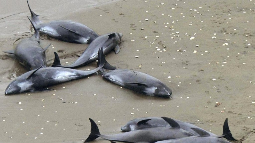 Dolphins lie on the beach in Hokota, north of Tokyo, Friday, April 10, 2015. Nearly 150 dolphins were found washed ashore the coast in central Japan on Friday morning. A Hokota city official said a total of 149 dolphins were found stranded on the beach by noon local time. (AP Photo/Kyodo News) JAPAN OUT, MANDATORY CREDIT