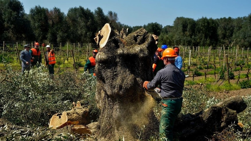 An olive tree is cut down in Oria, near Brindisi, southern Italy, Monday, April 13, 2015. Forestry officials in southern Italy have cut down the first of thousands of olive trees infected with a deadly bacteria in a controversial bid to prevent its spread. The xylella fastidiosa bacteria has ravaged Puglia's olive trees and contributed to a 35 percent drop in the region's olive oil production last year. Its spread has so alarmed the EU that France announced a boycott of Puglian vegetables. Puglian growers have opposed the government's slash-and-burn plan, saying it won't contain the bacteria's spread. (AP Photo/Gaetano Loporto)